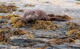 An afternoon with an Otter - photograph (c) 2016 David Bailey (not the)