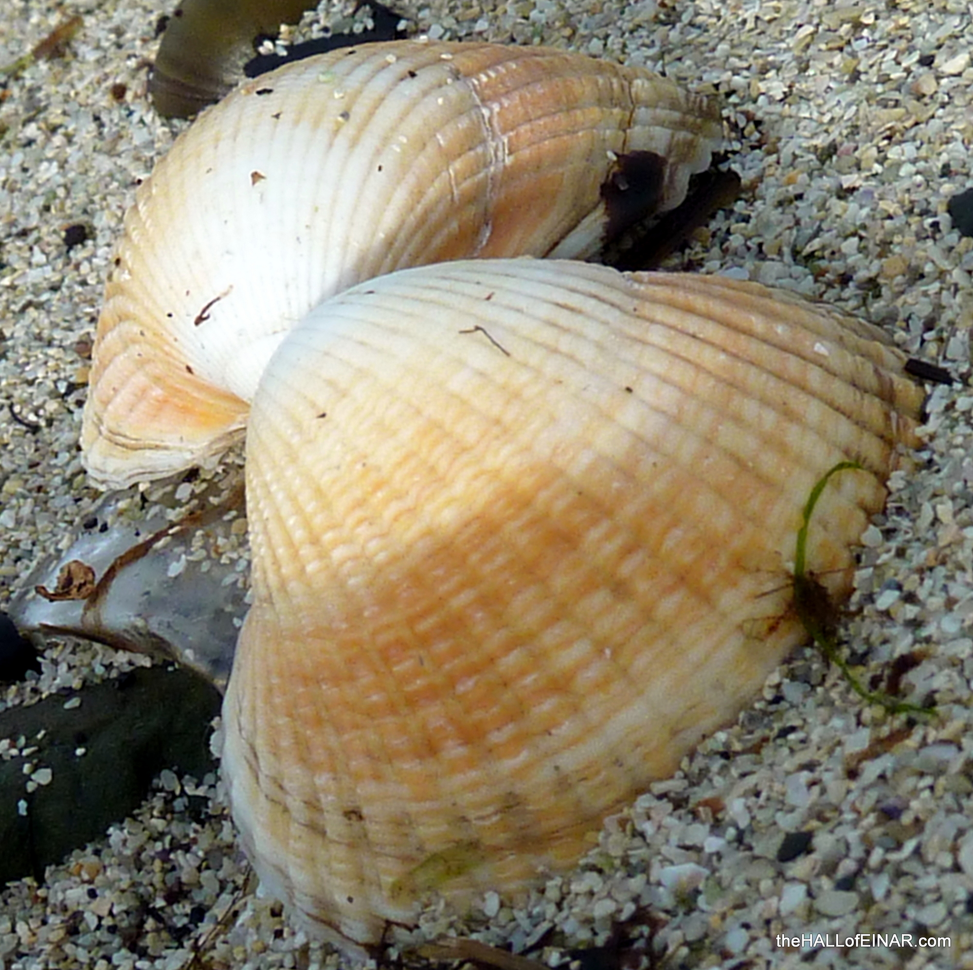 Cockles on the beach