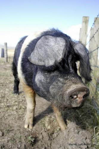 Snuffle, oink, scratch