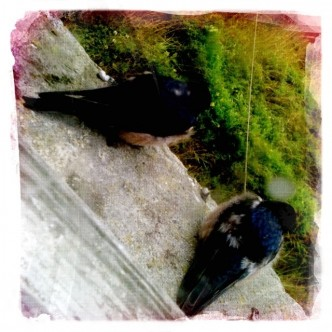Young Swallows