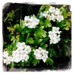 May in June - Hawthorn