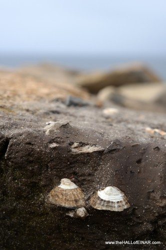 Limpets in the midden