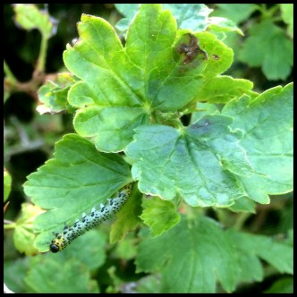 Attack of the Gooseberry Sawfly