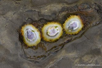 Three Limpets - photograph (c) 2016 David Bailey (not the)