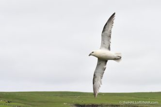 Fulmar - photograph (c) 2016 David Bailey (not the)