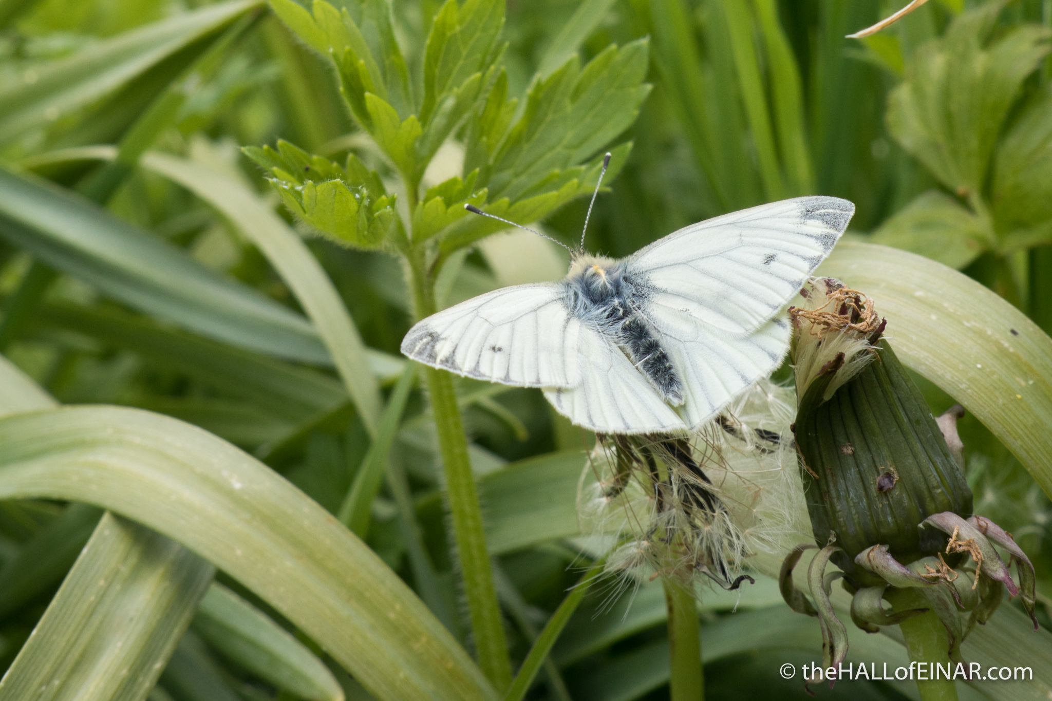 Green Veined White Butterfly - photograph (c) David Bailey (not the) - The Hall of Einar
