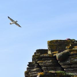 Fulmar on Westray - photograph (c) 2016 David Bailey (not the)