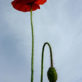 Pierowall Poppy - photograph (c) 2016 David Bailey (not the)