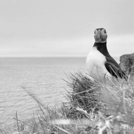 Puffin - photograph (c) 2016 David Bailey (not the)