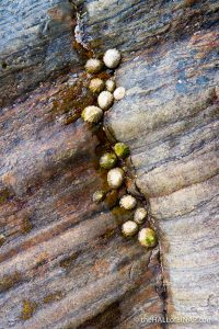 Limpets in the crack - photograph (c) 2016 David Bailey (not the)