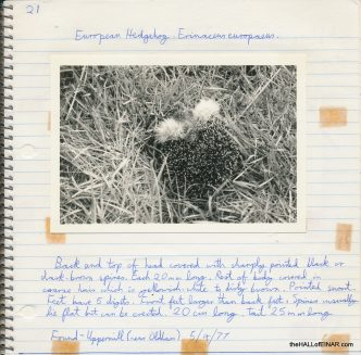 Hedgehog - 1970s Nature Notebooks - The Hall of Einar
