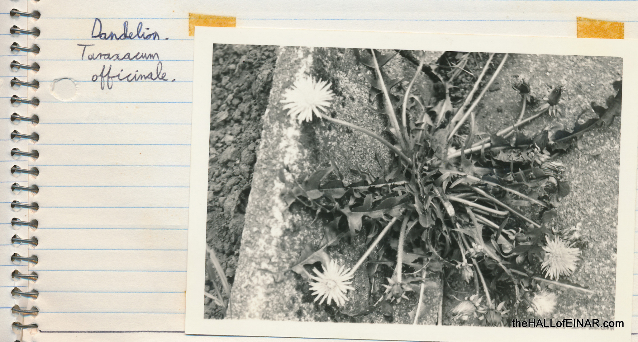 Dandelion - 1970s Nature Notebooks - The Hall of Einar