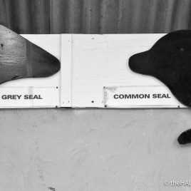 Grey seal v Common seal. Who nose the difference? - photograph (c) 2016 David Bailey (not the)