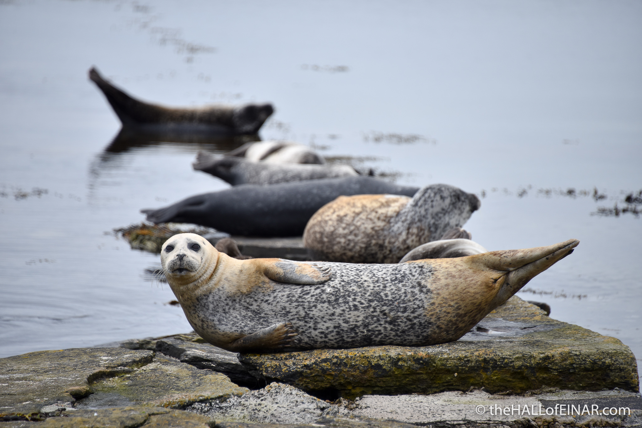 Seals at Broughton on Westray - The Hall of Einar - photograph (c) 2016 David Bailey (not the)