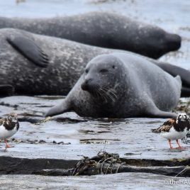 Seals and Turnstones - The Hall of Einar - photograph (c) David Bailey (not the)