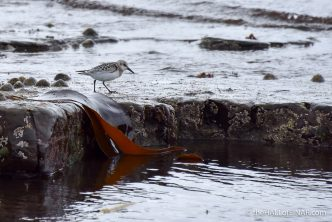 Sanderling in the Seaweed - The Hall of Einar - photograph (c) 2016 David Bailey (not the)