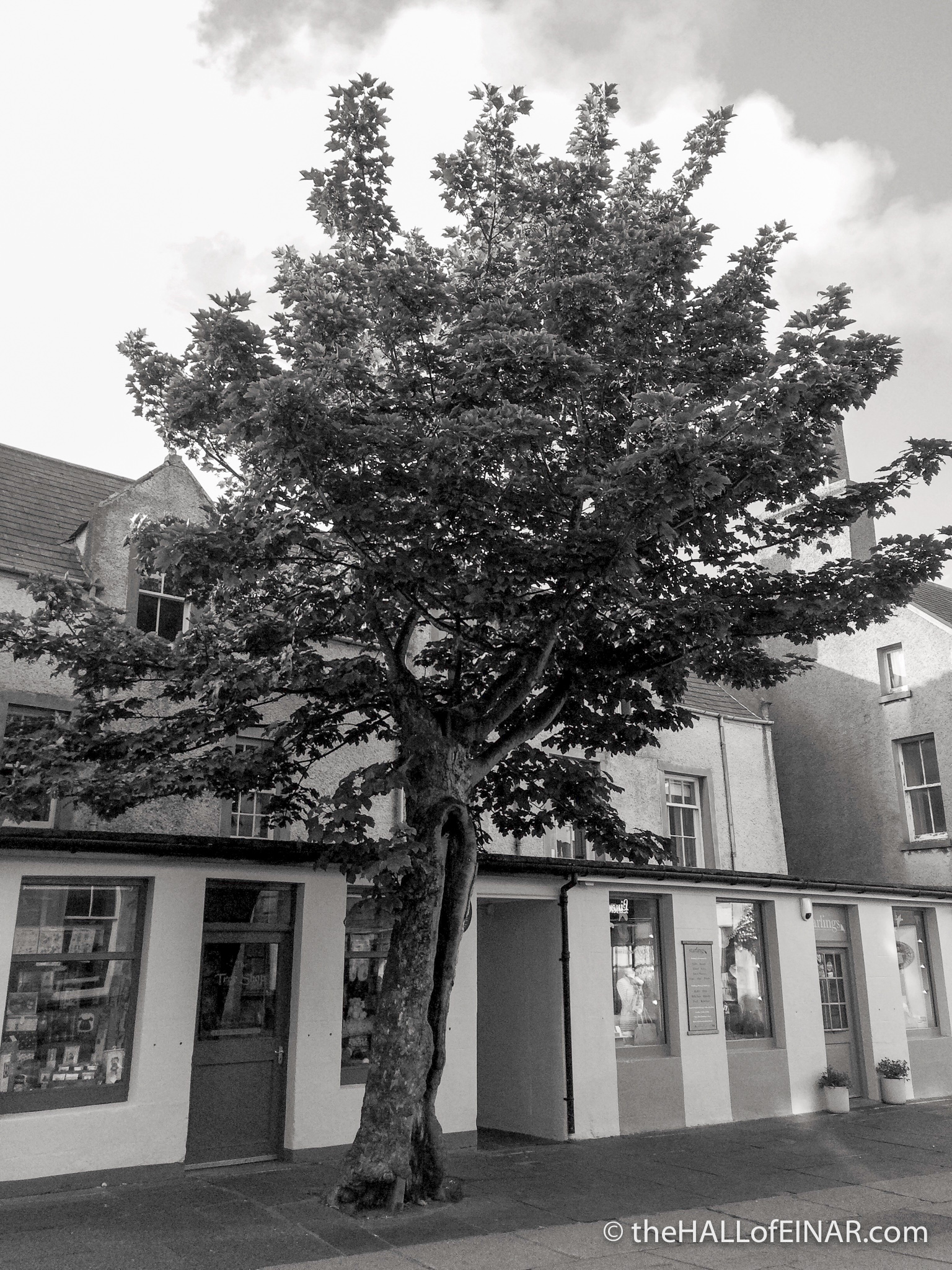 The Big Tree - The Hall of Einar - photograph (c) David Bailey (not the)
