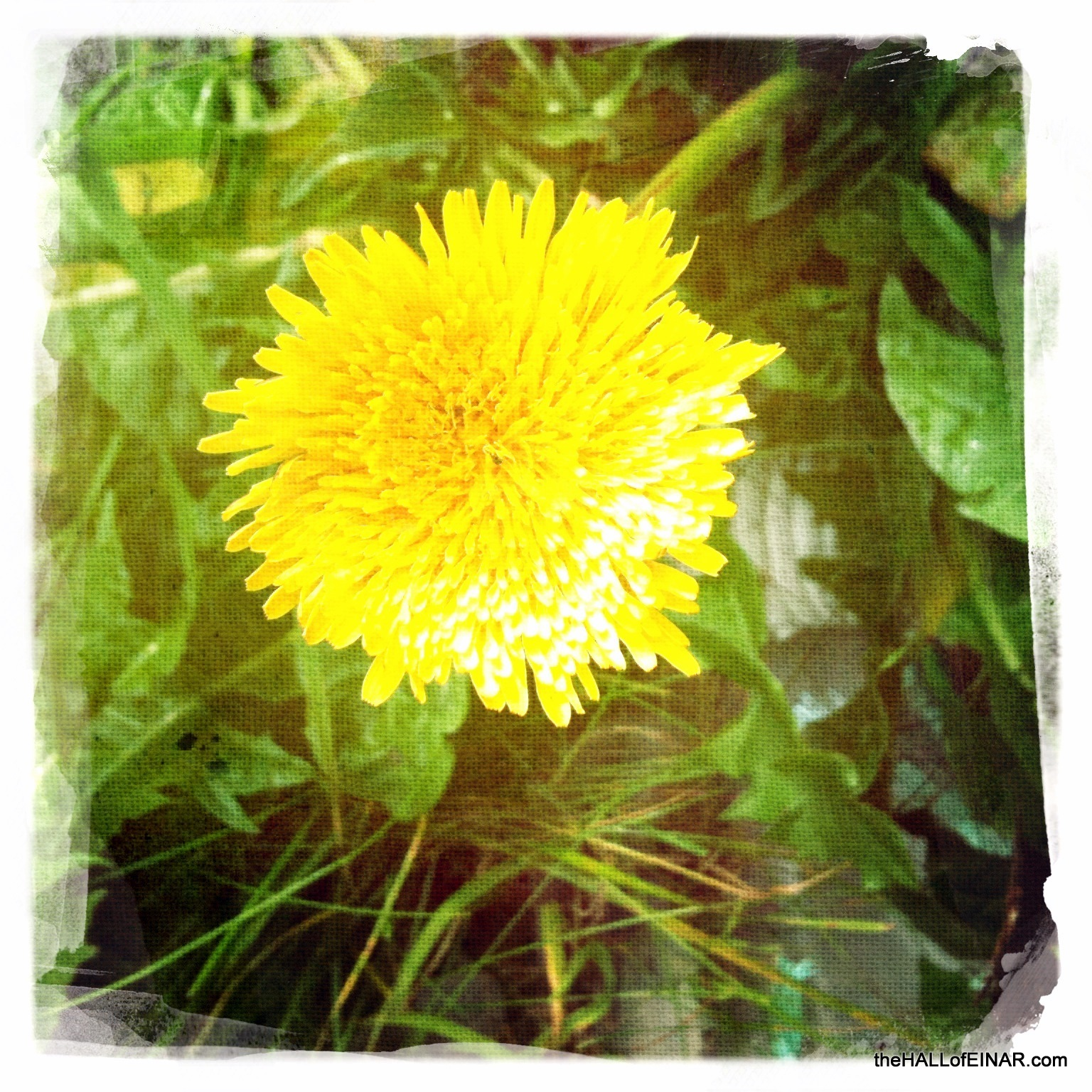 Dandelion - photograph (c) 2016 David Bailey (not the) - The Hall of Einar