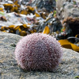 Common Sea Urchin - The Hall of Einar - photograph (c) 2016 David Bailey (not the)