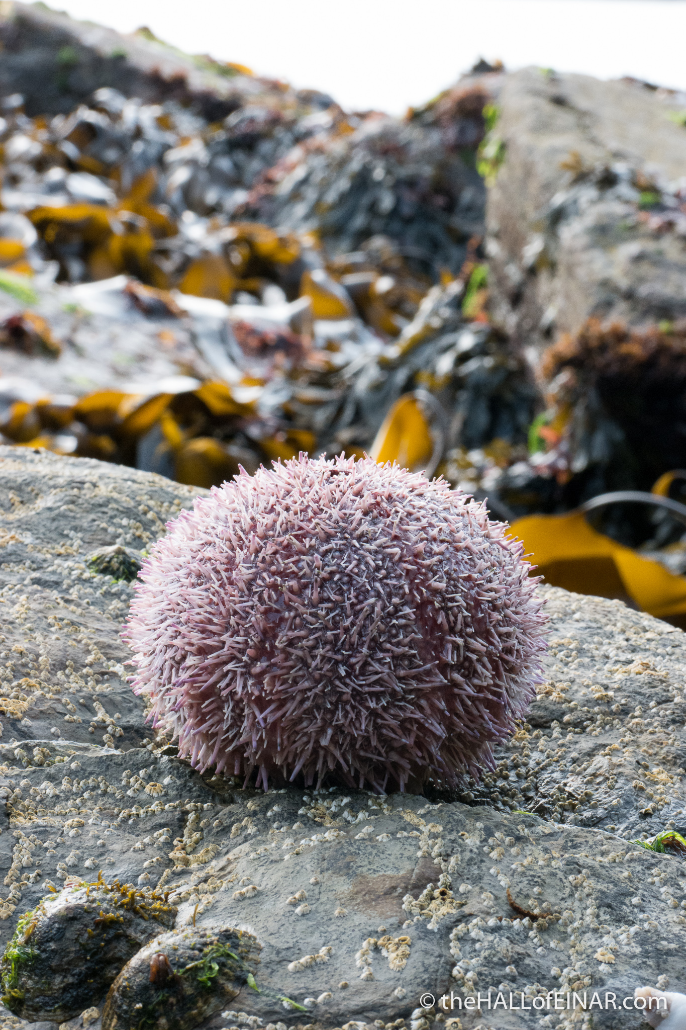Common Sea Urchin - The Hall of Einar - photograph (c) 2016 David Bailey (not the)