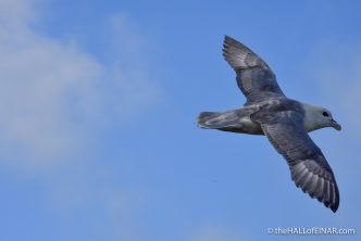 Fast Fulmar - photograph (c) David Bailey (not the)