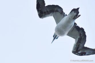 Good Gannets above - photograph (c) David Bailey (not the)