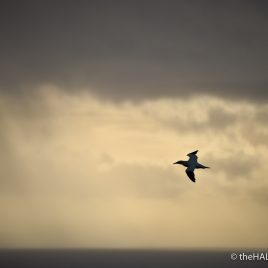 Gannets at sunset - photograph (c) David Bailey (not the)