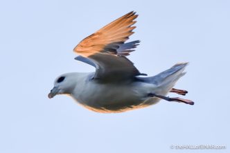 Fulmar at sunset - photograph (c) David Bailey (not the)