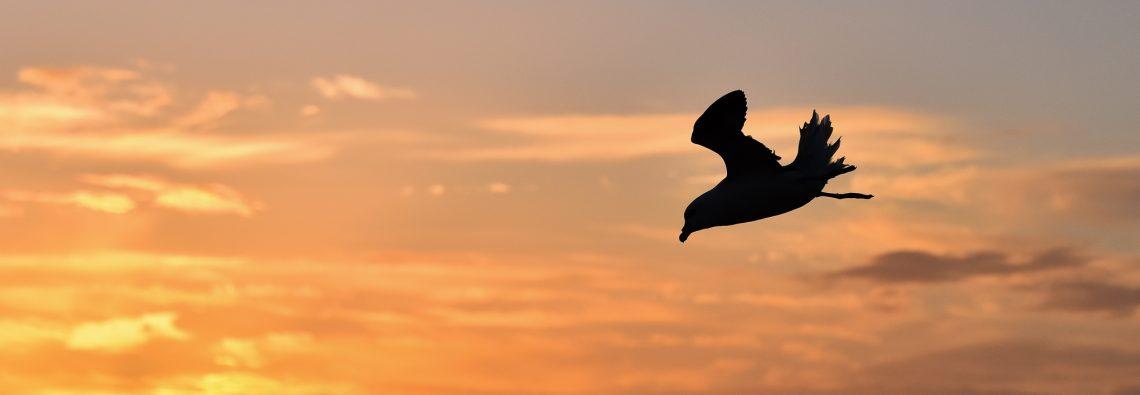 Fulmar sunset flypast - photograph (c) 2016 David Bailey (not the)