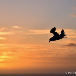 Fulmar sunset flypast - photograph (c) 2016 David Bailey (not the)