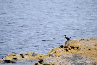 Westray Shag - photograph (c) David Bailey (not the)