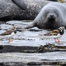 Seal and Turnstones - The Hall of Einar - photograph (c) David Bailey (not the)