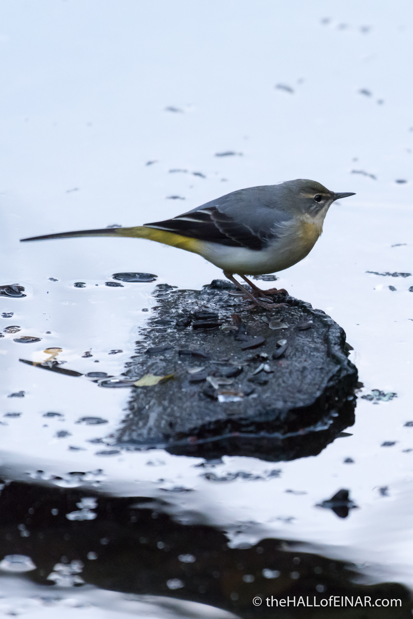 Grey Wagtail - The Hall of Einar - photograph (c) 2016 David Bailey (not the)