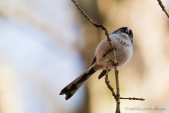 Long-Tailed Tits - The Hall of Einar - photograph (c) 2016 David Bailey (not the)