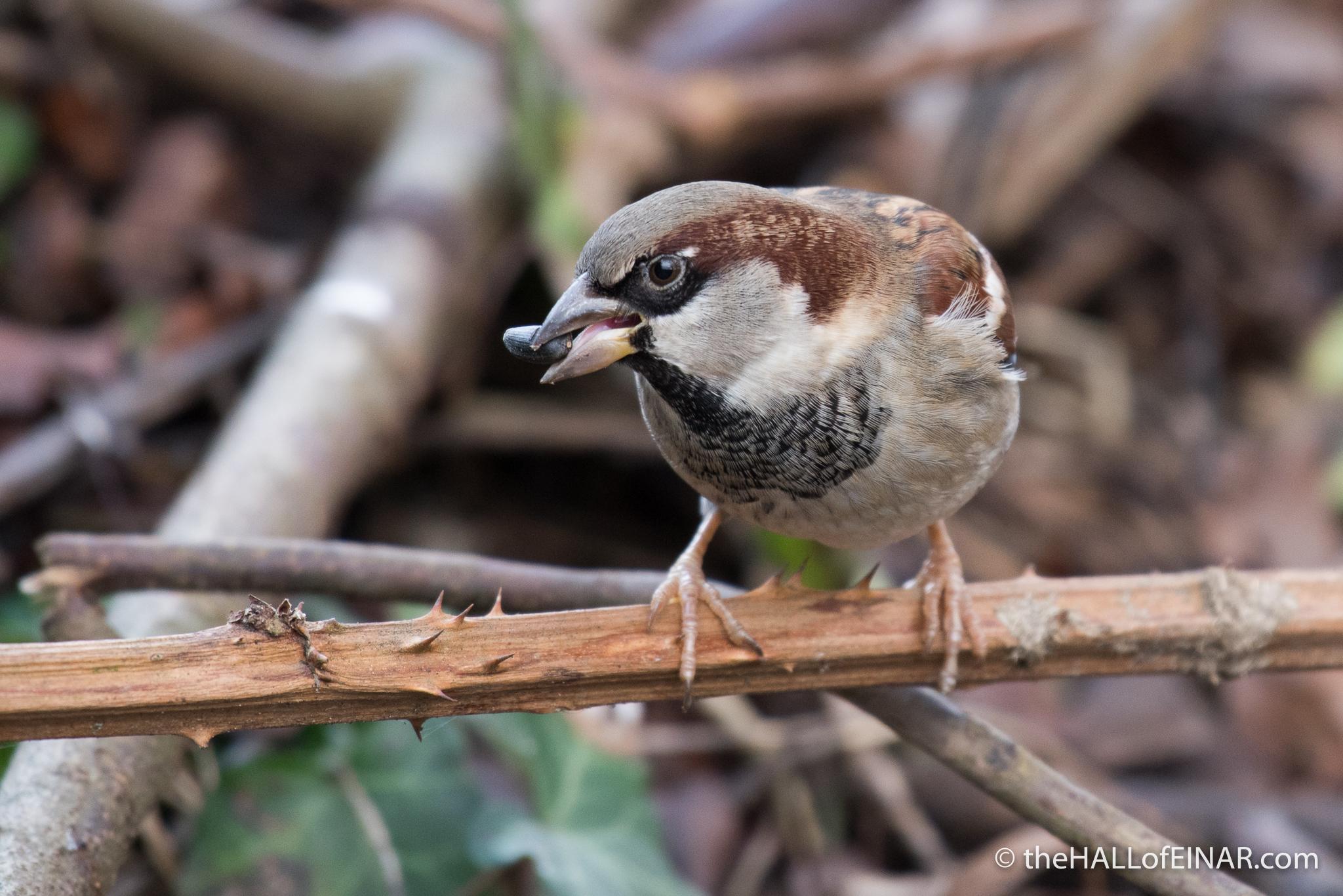 House Sparrow - The Hall of Einar - photograph (c) 2016 David Bailey (not the)
