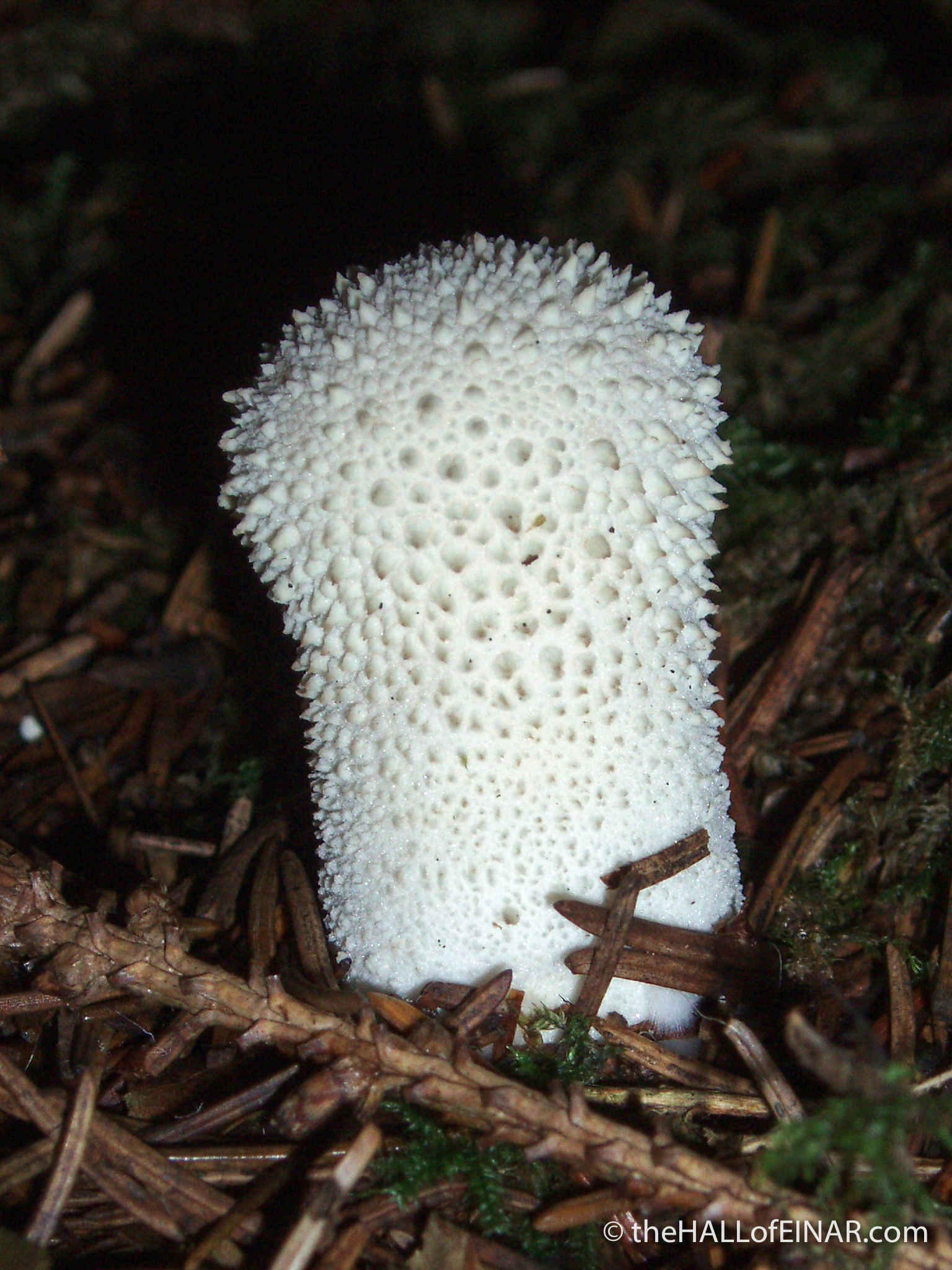 Lycoperdon perlatum - The Hall of Einar - photograph (c) David Bailey (not the)