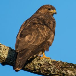 Buzzard - The Hall of Einar - photograph (c) David Bailey (not the)