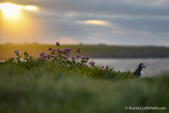Evening Puffin - The Hall of Einar - photograph (c) David Bailey (not the)