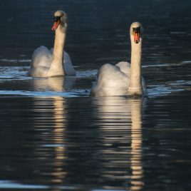 Mute Swan - The Hall of Einar - (c) David Bailey (not the)