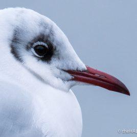 Black Headed Gull - The Hall of Einar - photograph (c) David Bailey (not the)