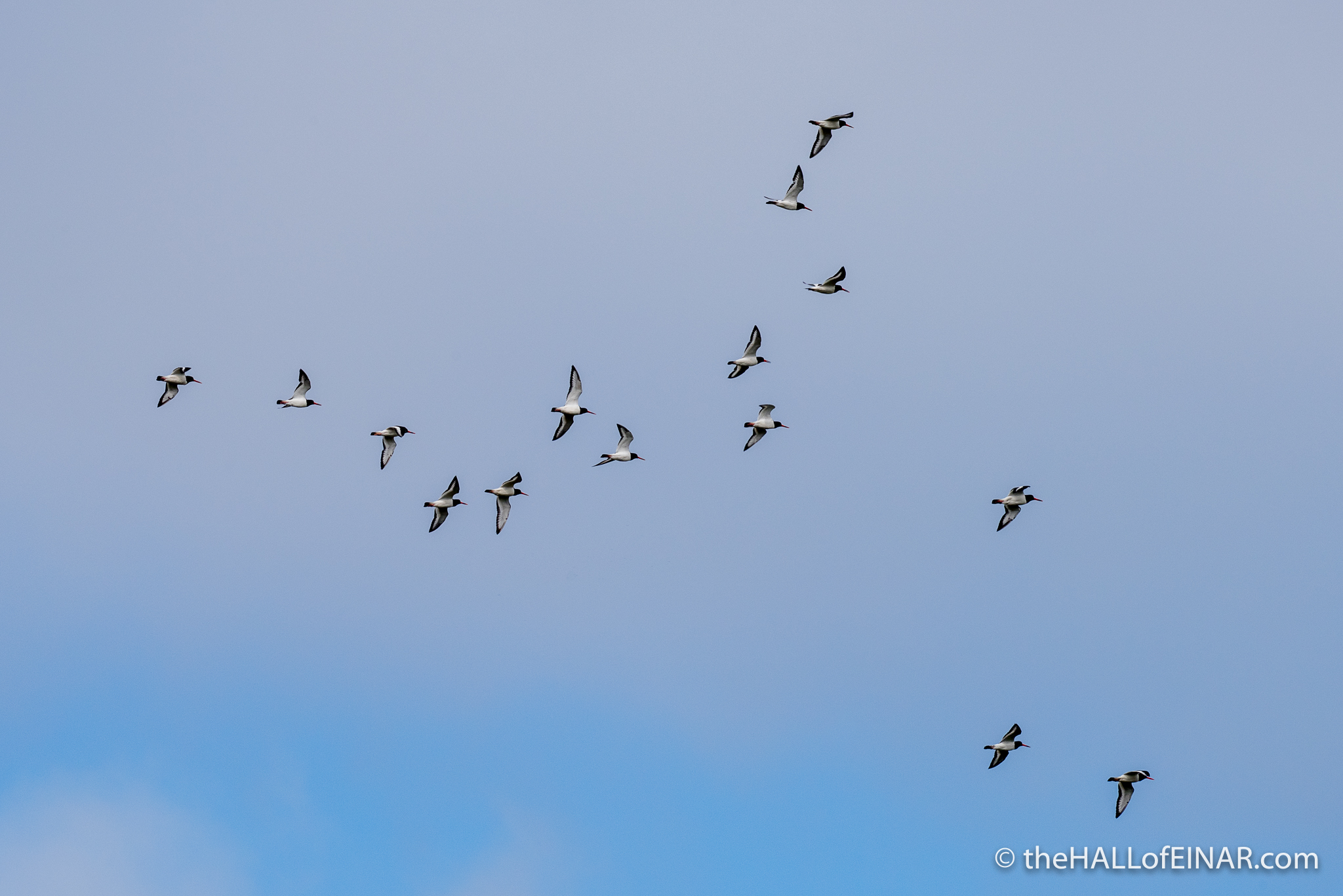 Oystercatchers - The Hall of Einar - photograph (c) David Bailey (not the)