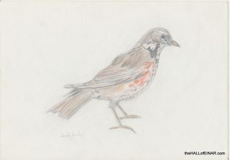 Redwing - The Hall of Einar - (c) David Bailey (not the)