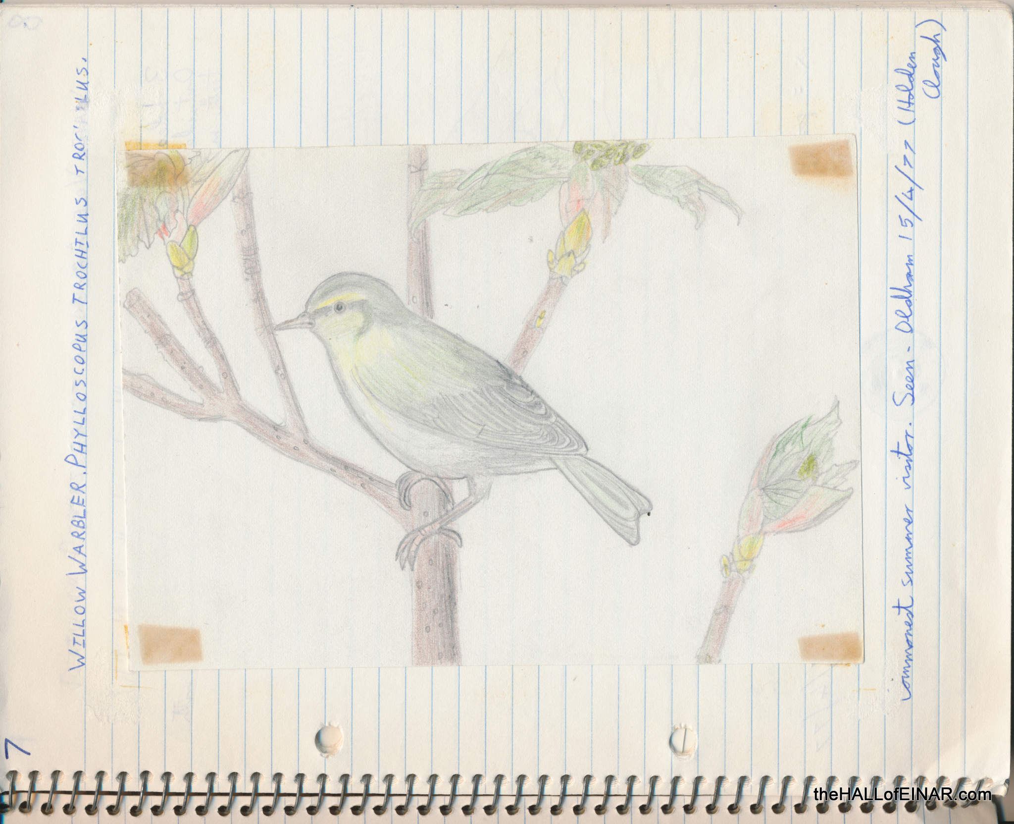 Willow Warbler - The Hall of Einar - (c) David Bailey (not the)