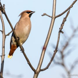 Bohemian Waxwing - The Hall of Einar - photograph (c) David Bailey (not the)