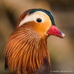 Male Mandarin Duck - The Hall of Einar - photograph (c) David Bailey