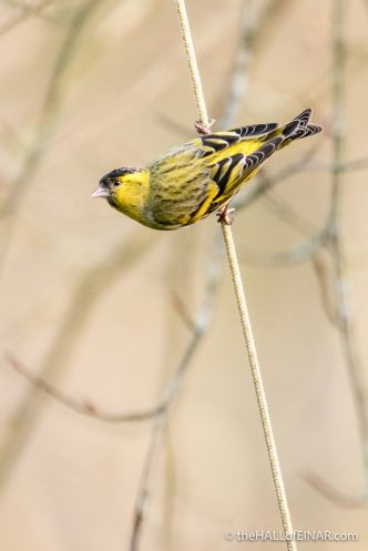 Siskin - The Hall of Einar - photograph (c) David Bailey (not the)