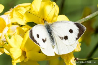 Female Large White Butterfly - The Hall of Einar - photograph (c) David Bailey (not the)