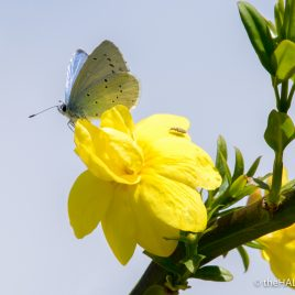 Holly Blue Butterfly - The Hall of Einar - photograph (c) David Bailey (not the)