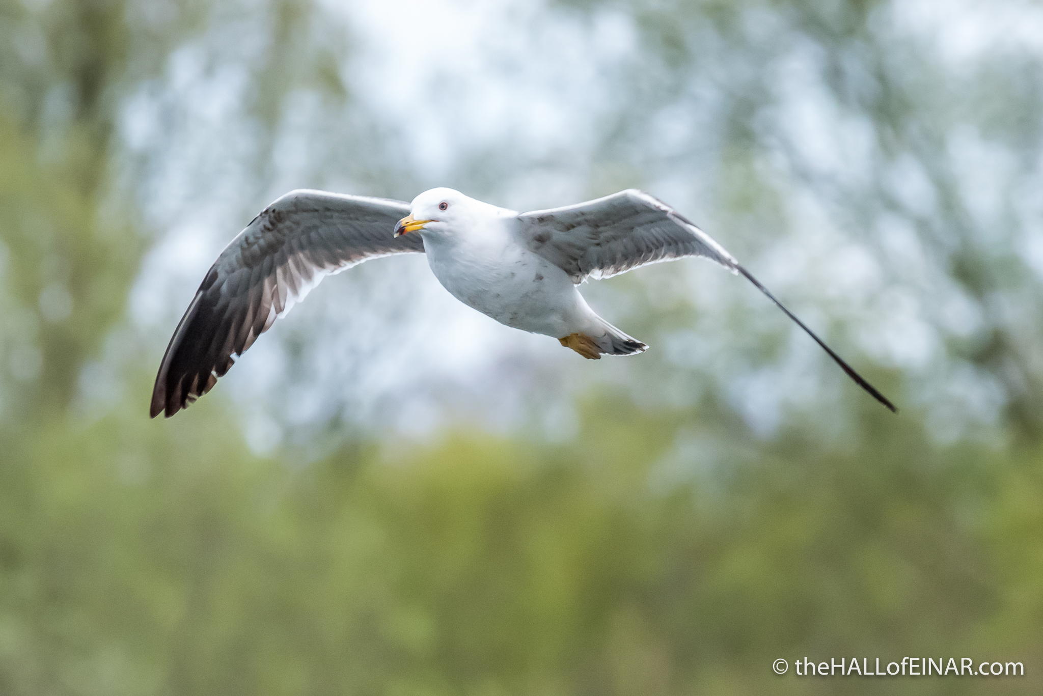 Lesser Black Backed Gull - The Hall fo Einar - photograph (c) David Bailey (not the)
