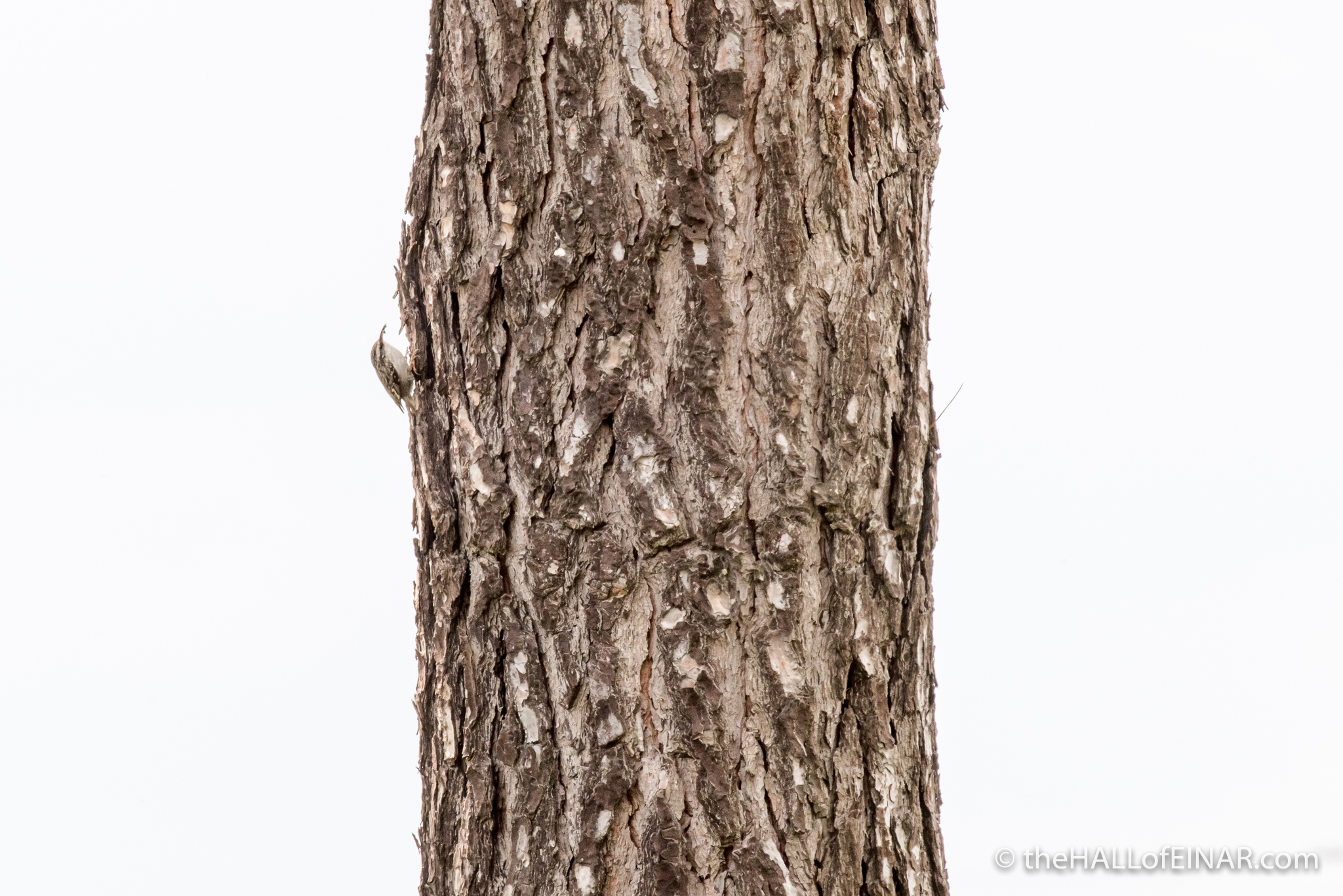 Short-Toed Treecreeper - The Hall of Einar - photograph (c) David Bailey (not the)